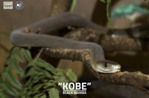 "Zoo Atlanta & the Atlanta Hawks Pay Homage to Kobe Bryant By Naming The Zoo's Black Mamba ""Kobe"""